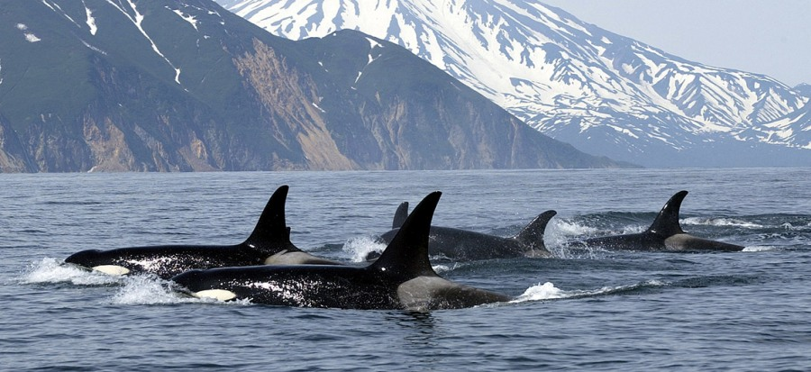 orca whales in British Columbia