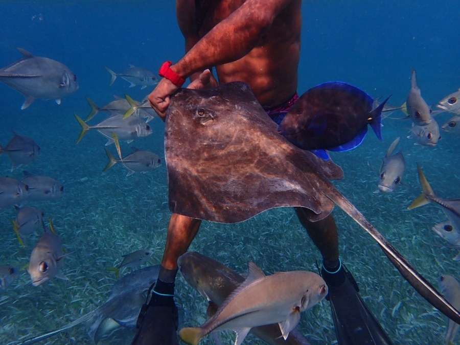 feeding stingray